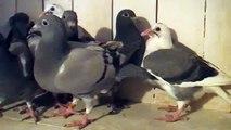 Młode Gołębie na sprzedaż po orginałach Janssen, Meulemans,Huyskens
