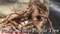 Plant a Tulip Poplar Tree, Liriodendron tulipifera - Fast Growing Shade Trees