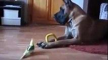 Dogs Great Dane with Birds   Funny Dog Danez vs Bird   Show