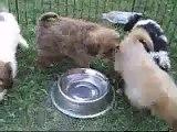 Cavachon Puppies For Sale | Seattle Washington | Cavachon Puppy For Sale