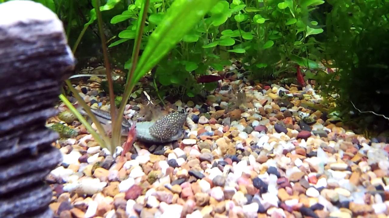 Aquarium – Riffle Shrimp, Borneo Sucker, Cherry Shrimp, Pygmy Corydoras