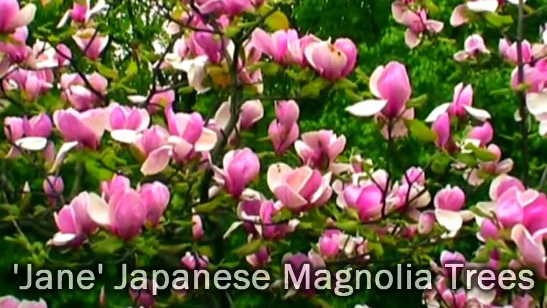 Jane Japanese Magnolia Flowering Tree Huge Pink Fragrant
