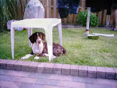 Macha, spanish waterdog, perro de agua espanol