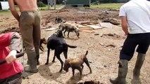 Exterminer des rats dans un champs avec des chiens