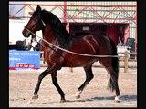 Ecuries kanel vente de chevaux pure race espagnole.