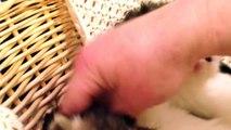 2014 Persian Kittens - Adorable Small Persians