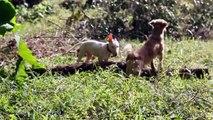 Legolas jugando en el campo (Legolas bull terrier)