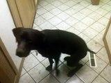 German Shorthaired Pointer Dog Performing Basic Tricks