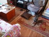 Bengal cat Sunny chatting / chittering / talking to laser