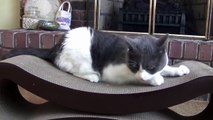 Funny Cats ~ How to Share a Cat Scratcher