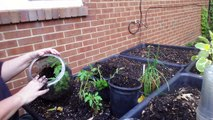 Winter Sowing - Transplanting Beefsteak Tomato Seedlings into Their 1st Pots After Grown in SNOW
