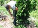 How to Tie up a Tree so it can be dug.. A Green Giant Arborvitae