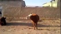 Speaking Cow   Konuşan İnek