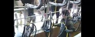 Spraying iodine on cows teats