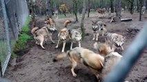 Une meute de loups s'attaque au chef de meute, le loup omega