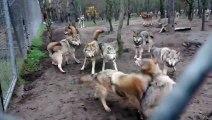 Une meute de loups s attaque au chef de meute, le loup omega - Violent!