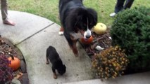 Rottweiler pup and Bernese Mountain dog (Cinder and Luna)