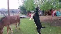 Goat Props On Mule Animals Real Funny Behaviour ᴴᴰ