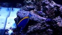 120 Gallon Reef Aquarium Nori Clip Powder Blue Tang Feeding.wmv