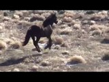 Antelope Roundup - Mare Collapses After Helicopter Stampede