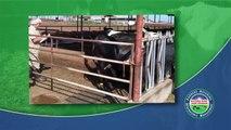Como Calificar las Lesiones del Corvejón en Vacas Lecheras