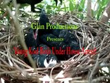 """Young Koel Birds Under House Arrest: Episode 3 """"Foster Parents Caring The Young Ones"""""""