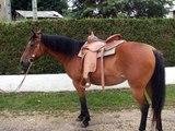 LE CRIN NOIR 55  Elevage chevaux, vente de poulains PAINT HORSE, Saillie