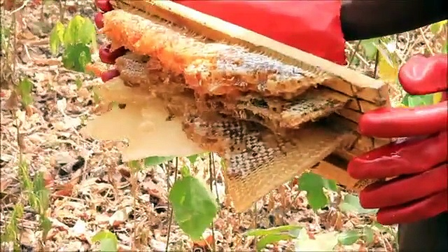 Small Hive Beetle: Colony Destruction — Beekeeping — Peace Corps Ghana