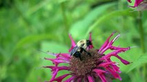 """slow motion Bumblebee @ 960 fps high-speed Sony DSC-RX100 Mark IV (HFR """"960 fps"""")"""