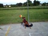 Bella Brown playing teather ball Boxer dog puppy