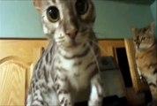 Thug-Life---Cat-B****-slaps-another-cat