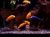 Labidochromis Caeruleus Part 1 Yellow Lab Cichlid Fighting Fight