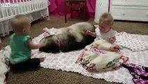Husky adorable entertains twin babies