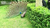 Shagging Peacock dancing (Wait Until He Gets His Girl)