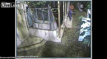 Surveillance video shows man steal 2 pit bulls that were rescued from a dog fighting ring