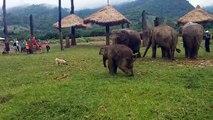 Un éléphanteau frustré