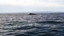 Joyful Humpback Whales Dance and Dive Beside Kayaker