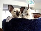 Molly and Charlie talking again! ORIGINAL (siamese kittens)