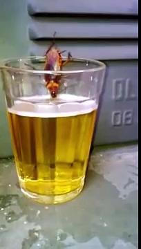 Cockroach drinking beer