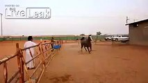 Over Excited Horse Flips over the Railing