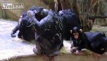 Monkey Slurping own Urine (The Thirst is Real!)