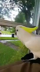 Cockatoo with an identity crisis