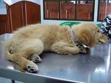 Canine Distemper Disease