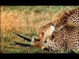 Gli animali più pericolosi del deserto Documentario National Geographic parte 3