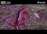 Giant Vietnamese centipede fights snake
