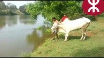 Un zébu plonge dans une rivière a voire lol !!!!