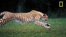Cheetah Running in Ultra Slow Motion