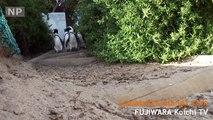 ペンギンの歩く街4・出勤ペンギン The Town Where Penguins Roam 4