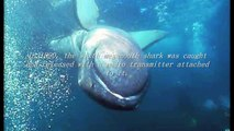 The Megamouth Shark