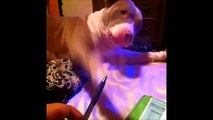 NEW  Funny Pitbulls Vines Compilation MAY 2015 | funny dog vines